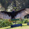 Turkey_vulture.jpg