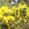 Gorse Bush just in bloom