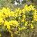 Gorse Bush just in bloom