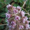Butterbur
