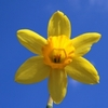 Fresh Daffodil