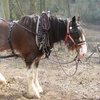 Clydesdale Working Horse