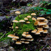 Mushrooms at Denny Creek.jpg