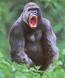 Angry Silverback Gorillas That s one angry Gorilla