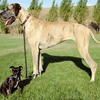 Great Dane against another Dog.jpg