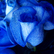 Blue_rose-artificially_coloured.jpg