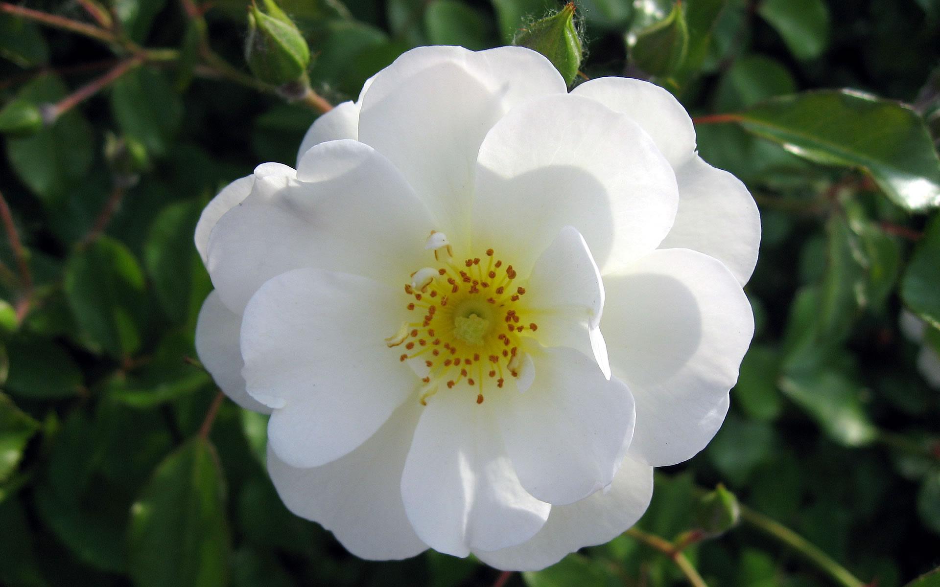 White rose flower sammer kale - Fotos de rosas de colores ...