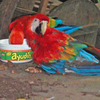 ParrotAmazonDickA.jpg